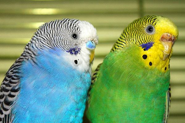 Средние и волнистые попугаи в домашних условиях 38
