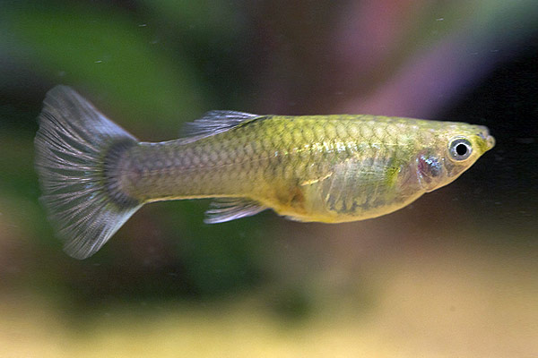 Female Feeder Guppies-Apparently the Picture Doesn't Show for You-Search up Online for Pictures